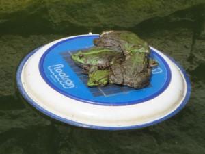 Frogs on floatron