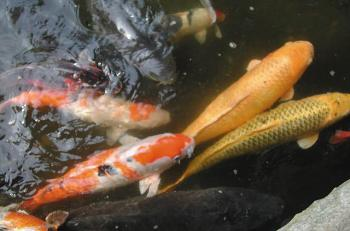 Floatron for pond algae floatron uk for Koi pond basics